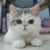 Kitty : The Female Exotic Shorthair Cat